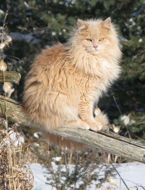 domestic cat felis catus crossbreed
