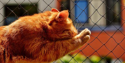 domestic cat cat red
