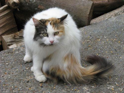domestic cat felis catus elizabeth taylor