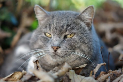 domestic cat feline animal