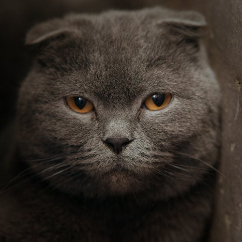 domestic cat  pets  animal