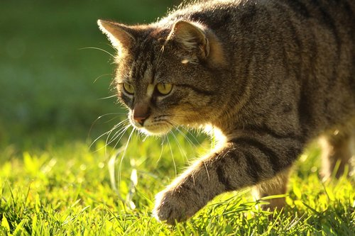 domestic cat  hunting  sneak