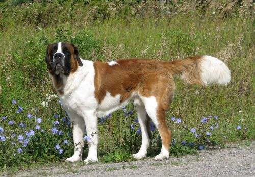 domestic dog canis familiaris saint bernard
