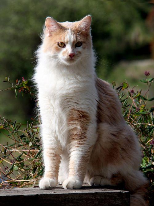 domestic longhair cat domestic cat cat