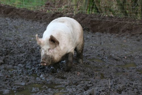 domestic pig pig mud