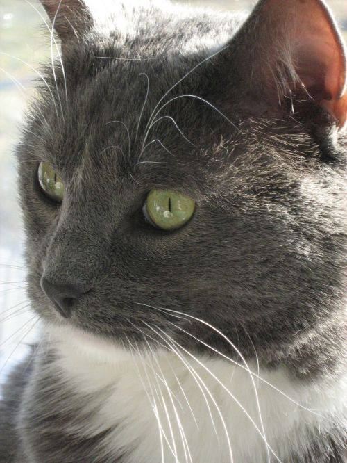cat domesticated short hair