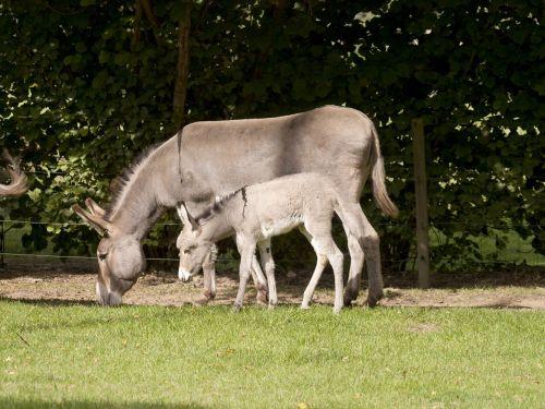 donkey colt mother