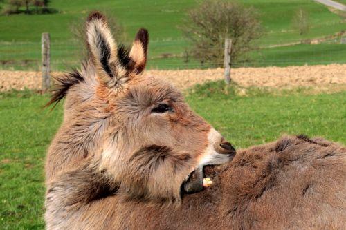 donkey domestic donkey equus asinus asinus