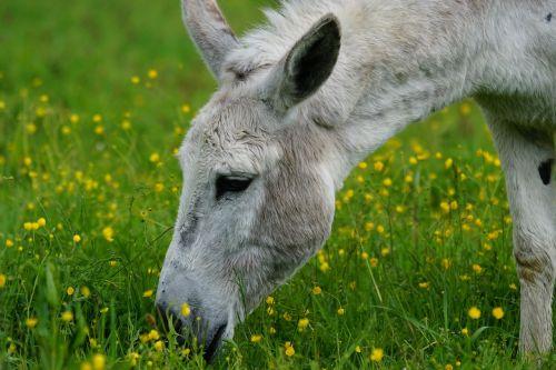 donkey domestic donkey perissodactyla