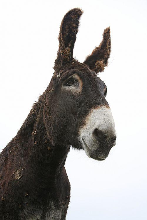 donkey shoe mane