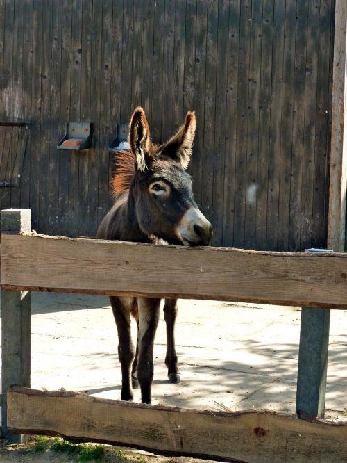 donkey brown donkey foal