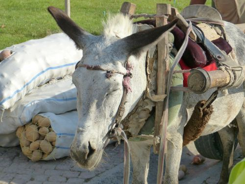 donkey beast of burden packed