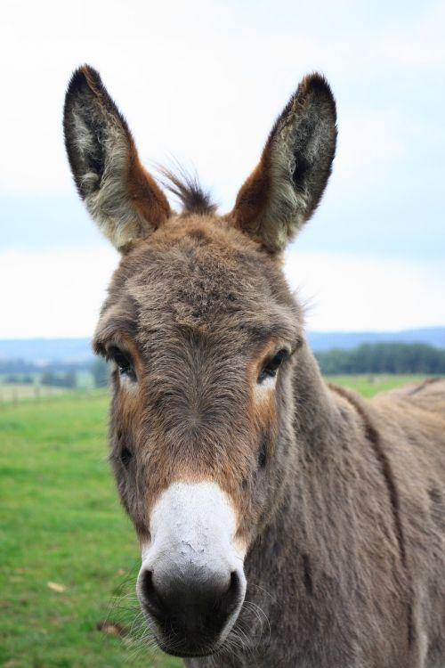 donkey lelkendorf gray donkey