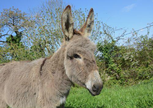 donkey equine animal