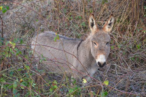 donkey equines pre