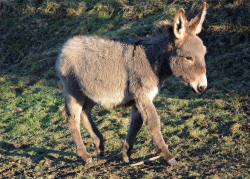 donkey colt grey