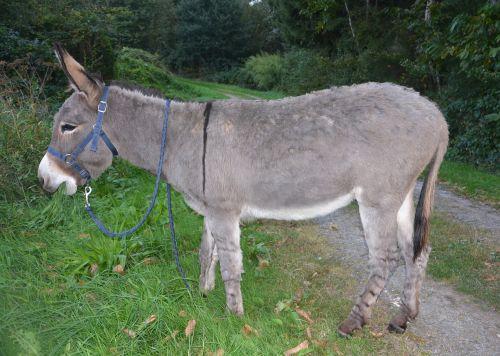 donkey gray donkey saint andré