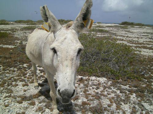 donkey ass bonaire