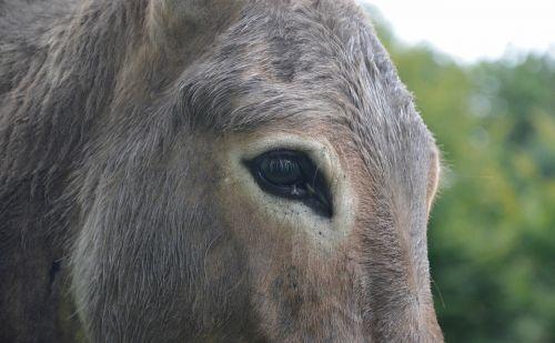 donkey eye equine