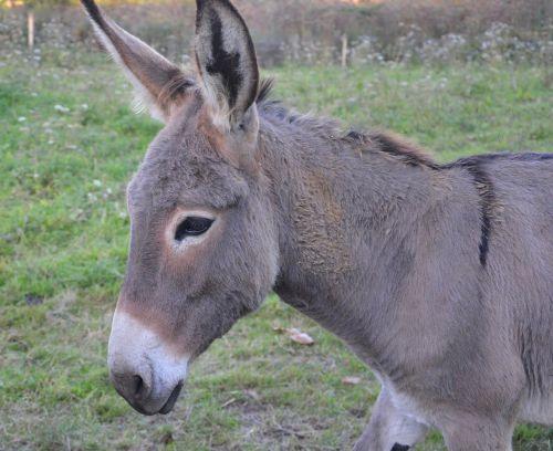 donkey colt saint andré