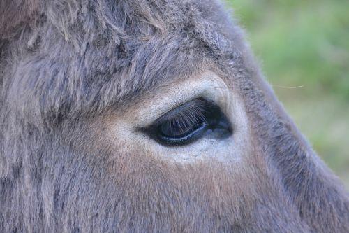 donkey eye profile head