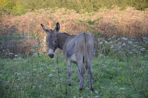 donkey equines gray donkey st andrew