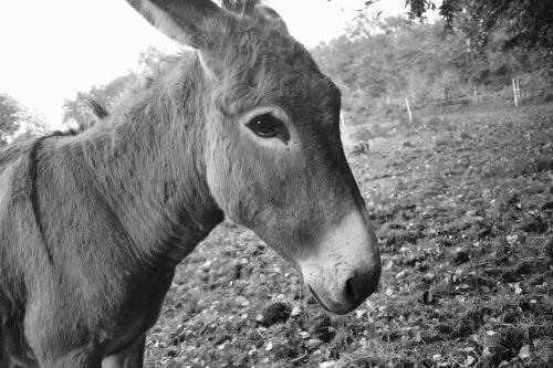 donkey portrait profile