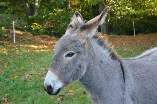 donkey gray donkey herbivore