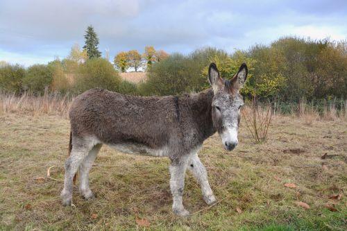 donkey gray donkey equine