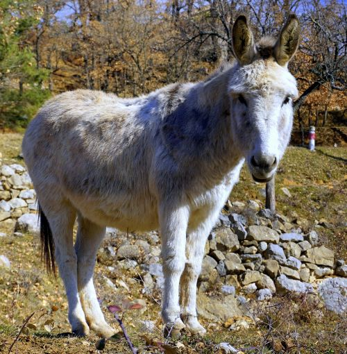 donkey ass equine