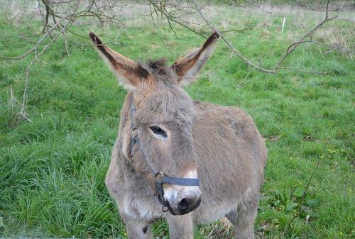 donkey  ass nanon  gray donkey