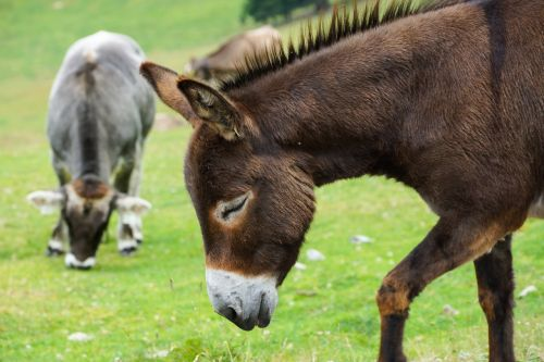donkey livestock donkey head