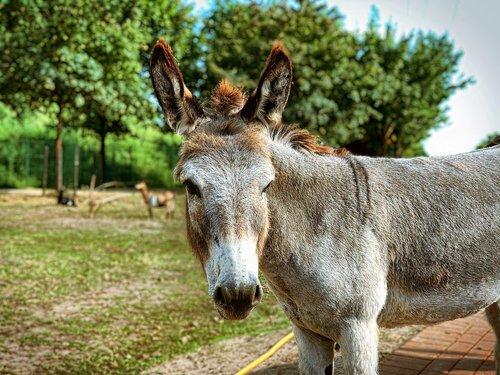 donkey  animal  draft horse