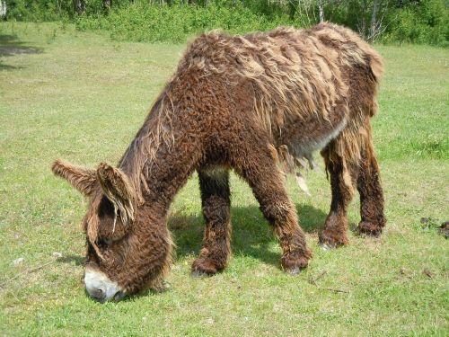 donkey fur poitou donkey