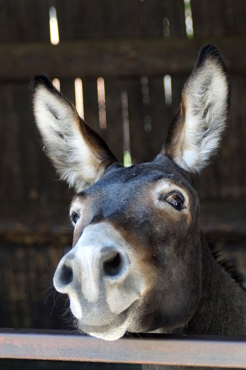donkey  long ears  portrait