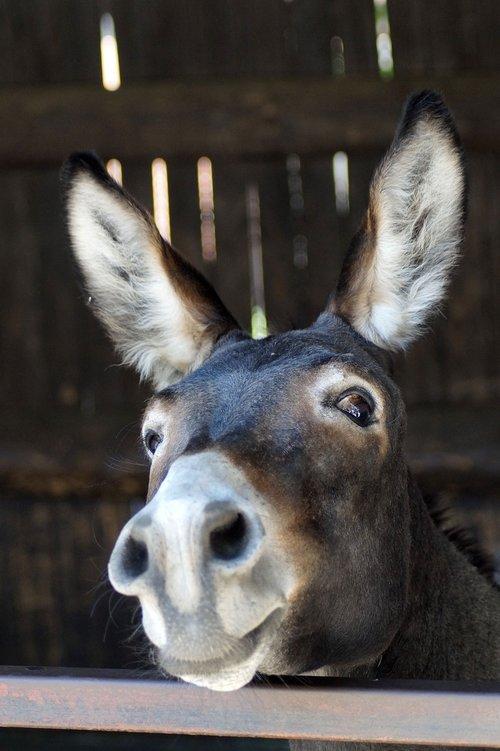 donkey  long ears  portrait