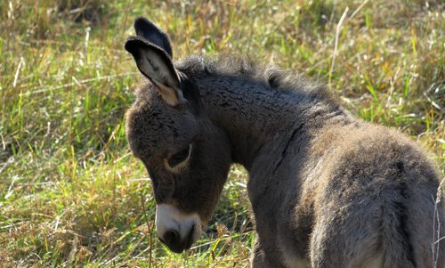donkey  young ass  foal