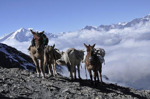 donkey  himalaya  nepal
