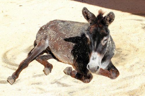 donkey livestock beast of burden