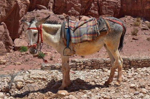 donkey  animal  transportation