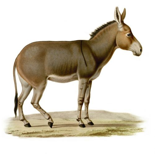 donkey workhorse drawing