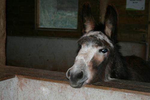donkey beast of burden ears