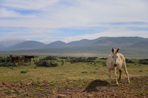 donkey white donkey desert