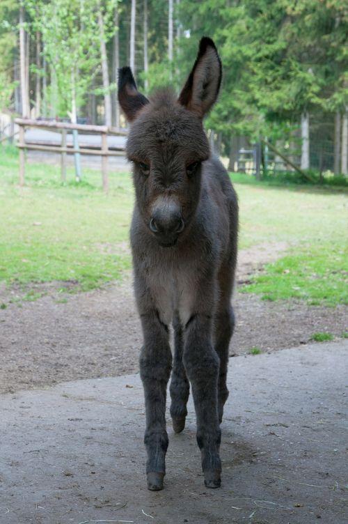 donkey foal donkey foal