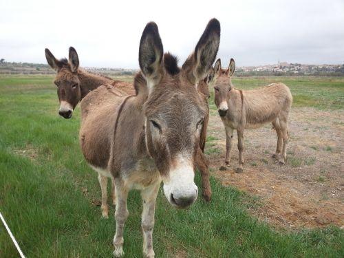 donkeys pre field