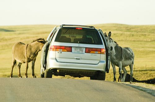 donkeys car road