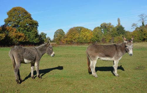 donkeys equines males