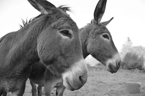 donkeys equines portrait