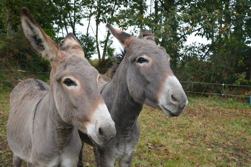 donkeys donkey head profile