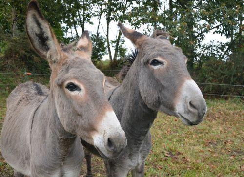donkeys croix saint andré color grey